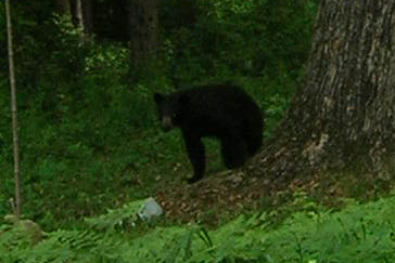 Black Bear Looks for a Meal
